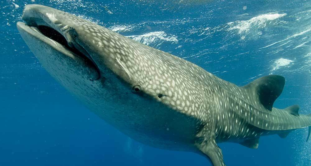 whale-sharks-belize