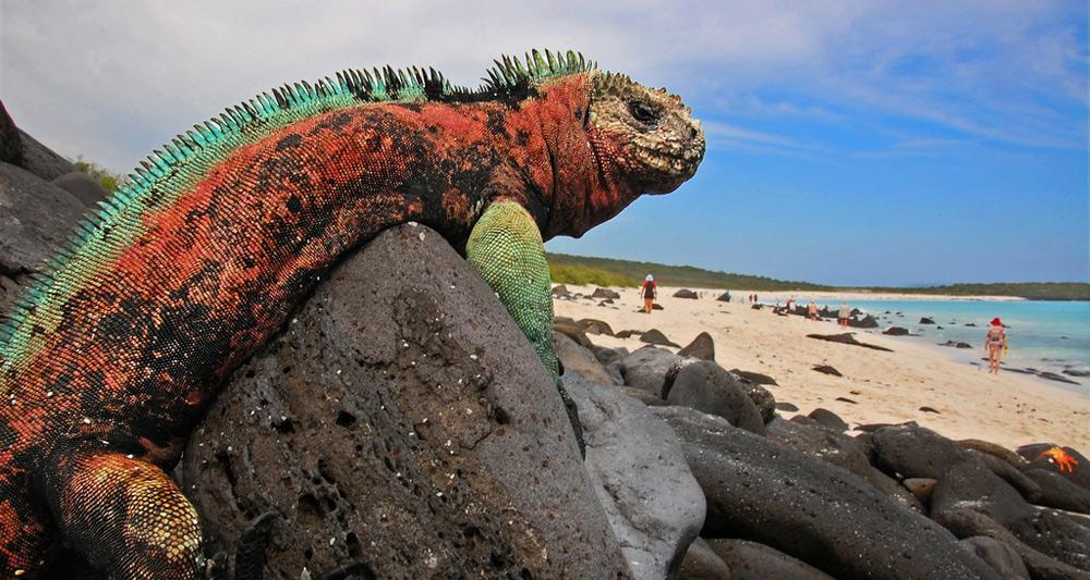 christmas iguana
